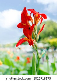 Canna, Canna indica or Indian shot or African arrowroot or Sierra Leone arrowroot, flower symbol and traditional Father 's Day gift in Thailand.