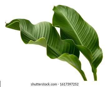 Canna indica leaf, (Indian shot,Butsarana), Exotic tropical leaf,  isolated on white background with clipping path.