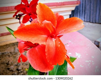 Canna indica(canna lily), commonly known as Indian shot, African arrowroot, edible canna, purple arrowroot, Sierra Leone arrowroot, is a plant species in the family Cannaceae.