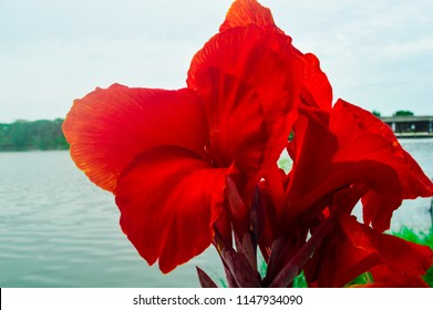Canna lilly Canna lilly,Canna Lily,Canna Lily and sky,Canna lilly and lake.