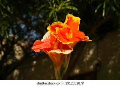 Canna Lily. Cannas flower
