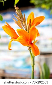 Canna Lily , Cannas , Canna indica, Indian shot, Butsarana.