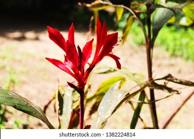 Canna lily, canna, India shot plant, Canna flower, Canna indica. Floral background.