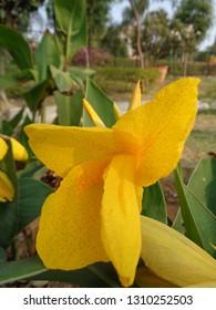 canna lily, Canna indica Linn, kolaboti  printed yellow indian flower in garden or park