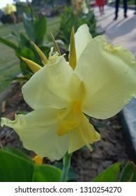 canna lily, Canna indica Linn, kolaboti  white indian flower in garden or park