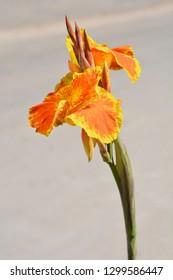 Canna lily - Latin name - Canna x generalis