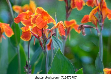 Canna Lily Soft focus for background.