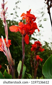 Canna or canna lily is a very beautiful flower