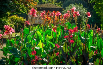 Canna (or canna lily, although not a true lily) is a genus of flowering plants