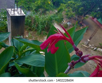 Canna, The plants are large tropical and subtropical perennial herbs with a rhizomatous rootstock.