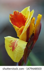 Canna in yellow and red