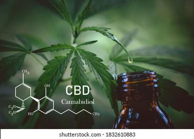 Cannabidiol CBD Oil Chemical Formula. A drop of hemp oil that comes out of the hemp leaf, Medical cannabis concept.