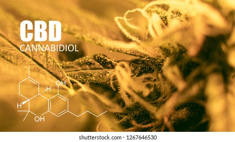 cannabidiol in medical cannabis. Future strains in 2019