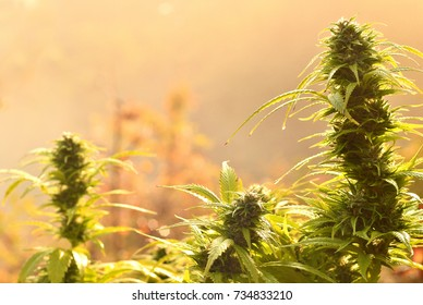 Cannabis bud, lit by warm early morning light
