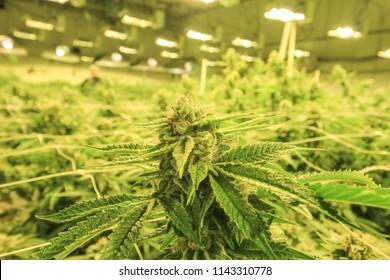 Cannabis Buds Growing Indoor