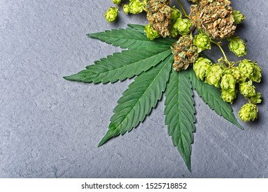 Cannabis buds and leaf with dry hoppy. Humulene terpene concept on grey background. Corner composition with copy space.