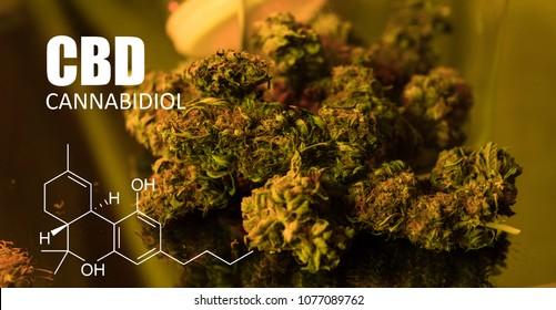 Cannabis buds Picture of Formula CBD close-up. Healing marijuana concept