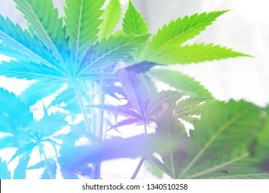 Cannabis business. Northern light strain. Home Grow legal Recreational weed. Marijuana grow operation. Marijuana flower Indoor growing. Planting cannabis.