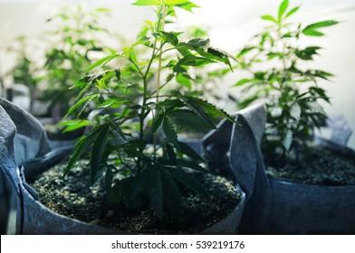 Cannabis Clone Plants