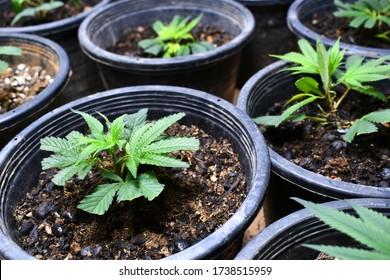 cannabis cloning indoor growing in thailand