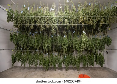 Cannabis Close Up Macro Marijuana Drying   Commercial California Legal Indoor Weed  Farming Ganja Cultivation Medical Recreational Indicas Sativas Hybrid Plants