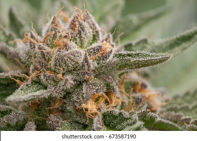 Cannabis Close Up, Sour Cherry Sherbert Strain, Grown by TKO Reserve