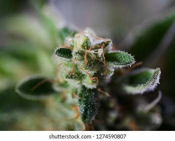 Cannabis Concept Macro Close Up Photo Crystals Plant Trichomes Red Hairs Potent Strain of Gooey Marijuana