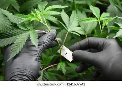 Cannabis Cultivation Cloning