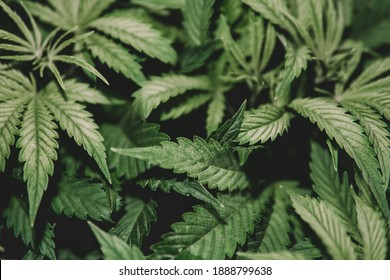 Cannabis cultivation. Cannabis plant . Grow indica flowering. Green background. Marijuana cultivation. Weed medicine leaf. Nature herb pot.