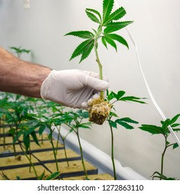 Cannabis Cultivator Planting Baby Marijuana Plant Displaying Roots