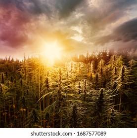Cannabis Field. Sunset Marijuana - Hemp Plants.