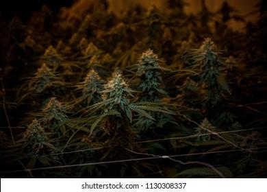 Cannabis Flower - Indoor Garden
