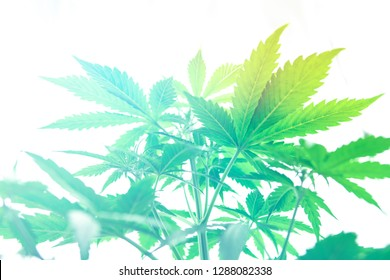 Cannabis flower Indoor growing. Grow legal Recreational cannabis. Northern light strain. Grow in grow box tent. Planting cannabis. Marijuana business. Home