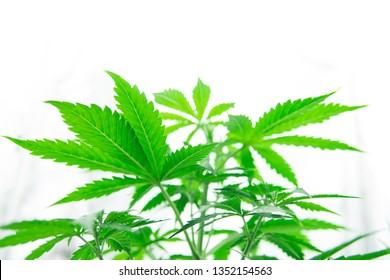Cannabis flower Indoors growing. Marijuana business. Grow in grow box tent. Northern light strain. Planting cannabis. Home Grow legal Recreational cannabis. Hemp grow operation.