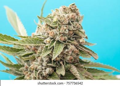 Cannabis Flower Macro