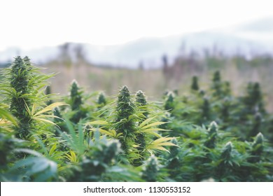 Cannabis Flower Outdoor