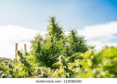 Cannabis Flower Outdoor Garden