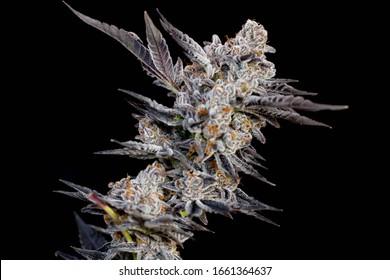 Cannabis Flower Trichomes on Indoor Commercial Marijuana Legal Dispensary Macro High THC Strains Large Bud Harvest