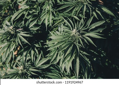 Cannabis flowers and leaves