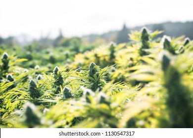 Cannabis Flowers Outdoor
