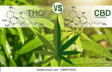 Cannabis of the formula CBD-THC