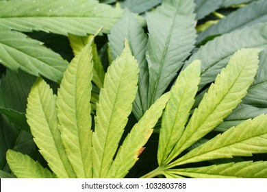 Cannabis ganja hemp leaves closeup photo herbal natural motive.