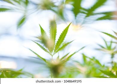 Cannabis Grow, Cannabis Leaf