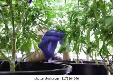 Cannabis Grow Operation