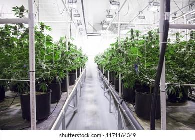Opération de croissance du cannabis