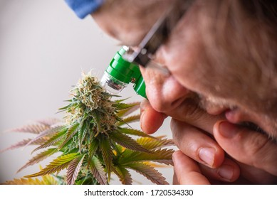 Cannabis grower looking closely at marijuana flowers with a jewelers loupe to check the health of the plant