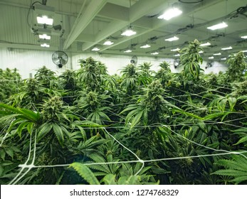 Cannabis Growing in Commercial Business Grow Space Female Budding Marijuana Plants