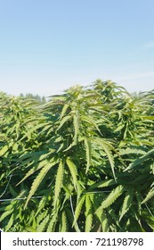 Cannabis growing on a legal medical grow farm in Washington