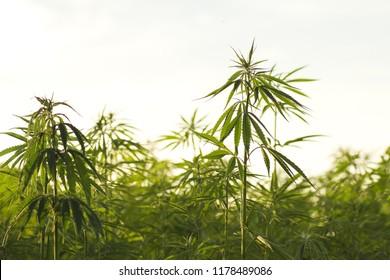 Cannabis or hemp industrial plantation