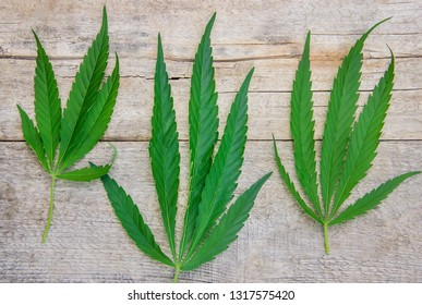 Cannabis herb and leaves for treatment broth, tincture, extract, oil. Selective focus. nature